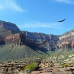 Condors flying over Plateau Point | Photo by Jerry Jobski